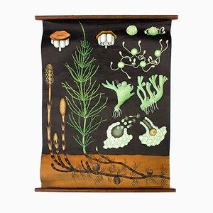 Österreichische Schautafel eines Acker-Schachtelhalms (Equisetum Aravense) von Jung-Koch-Quentell, 1961