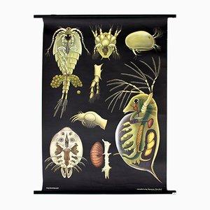 Austrian Protozoa Wallchart by Jung Koch Quentell, 1970