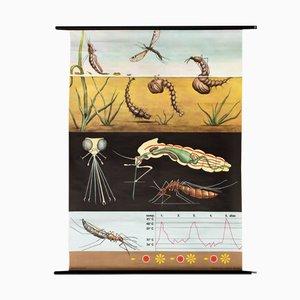 Austrian Wall Chart Mosquito by Jung-Koch-Quentell, 1973