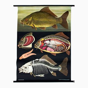 Carp Wall Chart by Jung-Koch-Quentell for Hagemann, 1970
