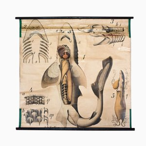 Póster de la anatomía del tiburón de Paul Pfurtscheller, 1902