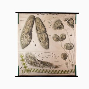 Paramecium Wall Chart by Paul Pfurtscheller, 1914