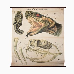 Stampa di una vipera di Paul Pfurtscheller, 1926