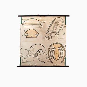 Póster vintage sobre los moluscos de Paul Pfurtscheller, 1910