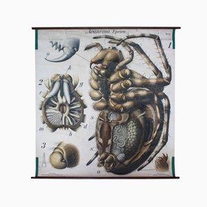 Stampa anatomica di ragno di Paul Pfurtscheller, anni '10