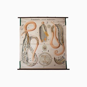 Antique Wall Chart Tapeworm by Paul Pfurtscheller, 1902