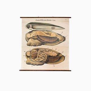 Póster vintage sobre la concha de los moluscos de Paul Pfurtscheller, 1929