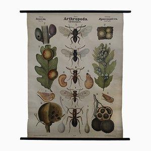 Affiche Educative Antique Anthropode par Leuckart, Nitsche & Chun pour Theodor G. Fischer & Co, Allemagne, 1885
