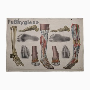 Anatomical Foot Wall Chart by L. Schrott for Hofmanndruck