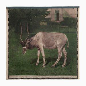Póster fotocrómico vintage sobre el antílope Addax, años 20