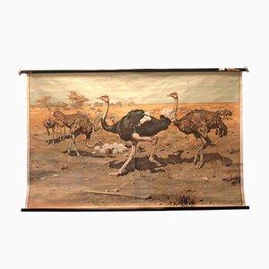 Póster de escuela vintage de una familia de avestruces
