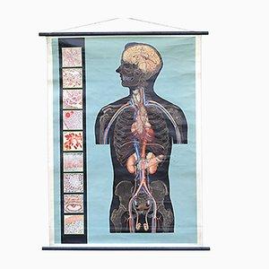 Italienische Vintage Anatomie Wandtafel