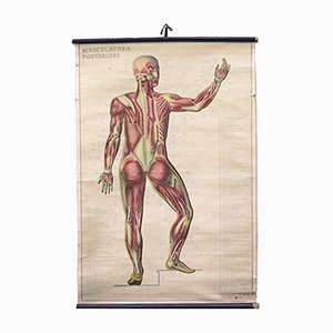 Italian Anatomical Wall Chart