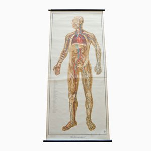 Blutkreislauf Wandkarte von Deutsches Gesundheits Museum Köln, 1952