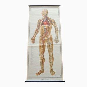 Tableau Educatif Anatomique Circulation du Sang de Deutsches Gesundheits Museum Köln, 1952