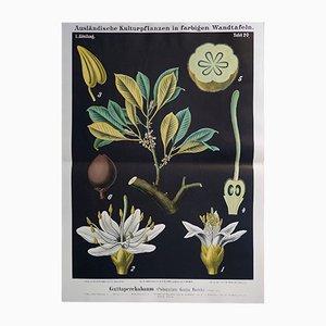 Stampa antica di una pianta di guttaperca, Germania, fine XIX secolo