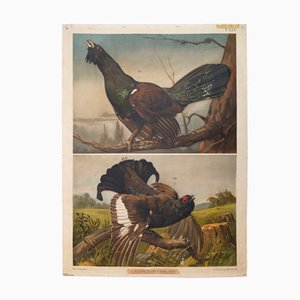 Vintage Austrian Wall Chart of a Wood Grouse by Theodor Breidwiser, 1900s