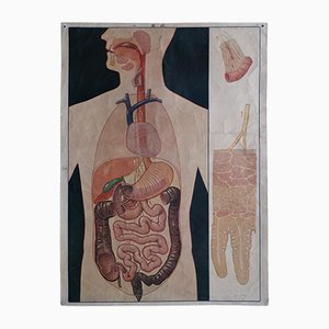 Vintage Mid-Century Digestive System Wall Chart