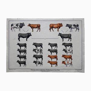 Póster alemán vintage sobre la herencia genética de las vacas, años 30
