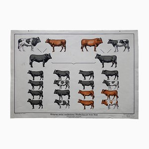 Vintage German Inheritance Cows Wall Chart, 1930s