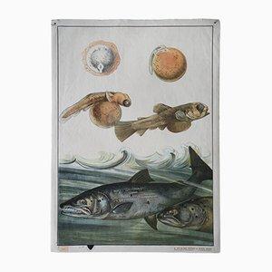 Antike Lachs Lehrtafel