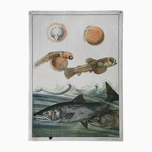 Antique Salmon Wall Chart