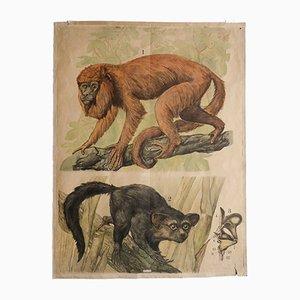 Antike Affen Engleder Lehrtafel, 1890er