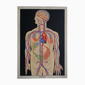 Vintage German Circulatory System Wall Chart, 1950s