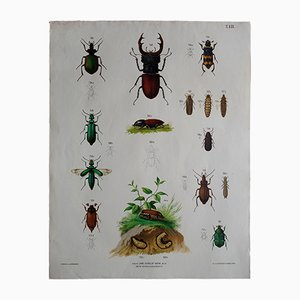 Antique Austrian Beetles Wall Chart, 1900s