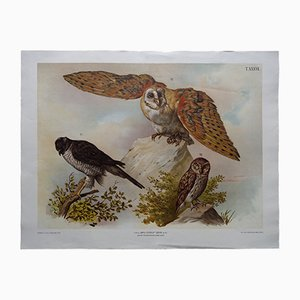 Antique Austrian Wall Chart of Owls and a Sparrowhawk