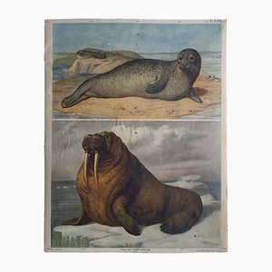 Antique Austrian Walrus & Seal Wall Chart, 1910s