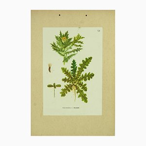 Hungarian Botanical Chart of St. Benedict's Thistle by Vera Csapody, 1962