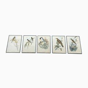 Stampe di uccelli, anni '50, set di 5