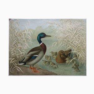 Antike Ente Lehrtafel