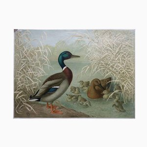Antique Duck Wall Chart