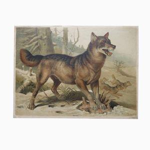 Antike Zoologische Wolf Lehrtafel