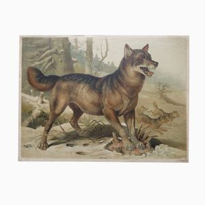 Antique Zoological Wolf Chart