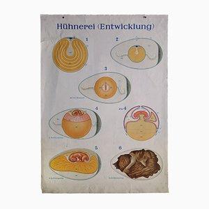 Póster alemán Mid-Century vintage sobre el desarrollo de un huevo de gallina