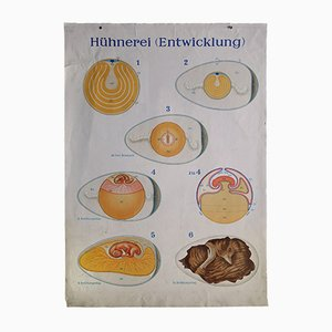 Vintage Mid-Century German Wall Chart of the Development of a Chicken Egg