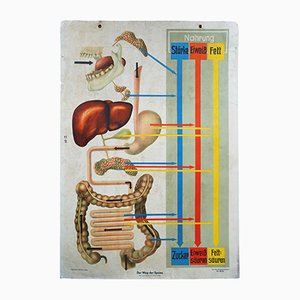 Vintage Mid-Century German Wall Chart of the Digestive System & Nutrients by O. Th. Weiss, 1950s