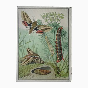 Vintage German Zoological Wall Chart of Spurge Hawk-Moth by G. Pascal, 1910s