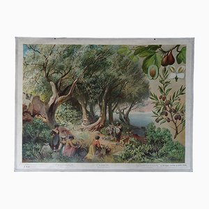 Antique German Wall Chart of Cultivated Olive, Fig and Laurel Trees by Franz Bukaucz for F.E. Wachsmuth