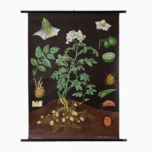 Póster vintage del Solanum peremne, años 60