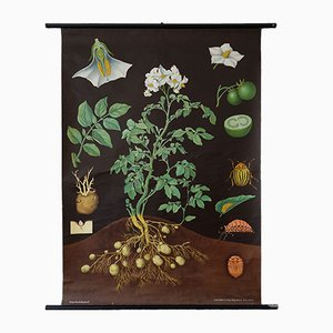 Vintage Wall Chart of the Perennial Nightshade, 1960s