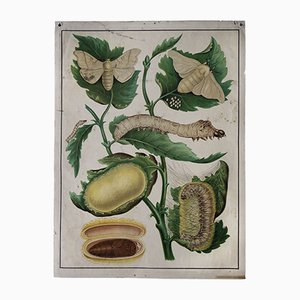 Antique Wall Poster of a Silk Worm and Silk Moth