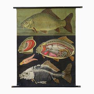 Affiche Murale Vintage Carpe par Jung-Koch-Quentell