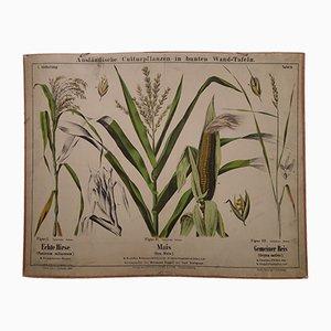 Stampa antica raffigurante le piante di grano, riso e miglio, fine XIX secolo
