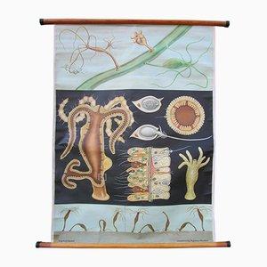 Affiche Educative Polype d'Eau Vive de Hagemann / Jung-Koch-Quintell, 1960s