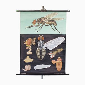 Stampa educativa di una mosca, anni '60