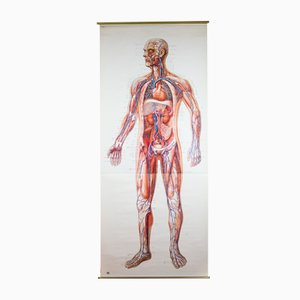 Wall Chart of Human Body by Deutsches Hygiene Institute, 1954